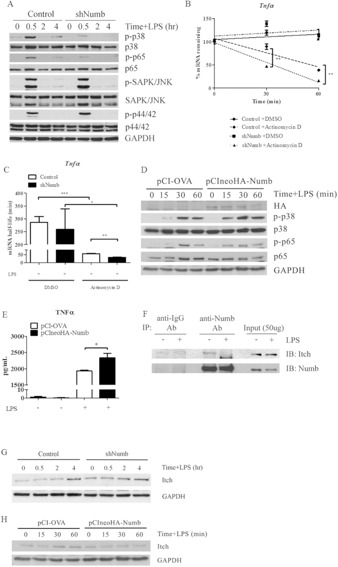 Effect of silencing Numb on activation of MAPK and NF-κB pathways in activated macrophages and the interaction of Numb and Itch. ( A ) After stimulation with LPS for indicated times, phosphorylation levels of NF-κB p65, p38, ERK1/2, and JNK MAPK from GFP + macrophages were analyzed. Data are representative of two independent experiments. ( B , C ) GFP + macrophages containing control (open bars) or sh Numb (closed bars) vectors were stimulated with LPS for 1 hr prior to treatment with DMSO or with actinomycin D to inhibit mRNA synthesis. The relative amount of remaining Tnfα mRNA was measured by qPCR. Half-life of Tnfα mRNA was calculated using linear regression line equations and shown in ( C ). Data are the mean ± SEM from representative of two independent experiments performed in triplicates. ( D ) RAW264.7 cell line was transiently transfected with the control plasmid or pCIneoHA-Numb and stimulated with LPS as indicated. p38 MAPK and NF-κB p65 were detected by immunoblotting. ( E ) RAW264.7 cell line transfected with the control plasmid or pCIneoHA-Numb were stimulated with LPS for 1 hr. The amount of TNFα was measured by ELISA. ( F ) Co-immunoprecipitation of endogenous Numb from unstimulated or LPS-stimulated macrophages was analyzed by immunoblotting. ( G ) Expression of Itch in macrophages containing control or sh Numb vector was detected by immunoblotting following LPS stimulation. ( H ) RAW264.7 cell line transfected with the control plasmid or pCIneoHA-Numb were stimulated with LPS for the times indicated and the level of Itch was detected by immunoblotting.