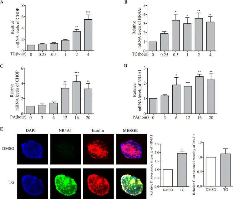 Analysis of the effect of TG or PA on NR4A1 expression in mouse islets. Mouse islets were isolated from C57BL/6J mice, and total RNA of mouse islets was prepared using an RNeasy Mini Kit. A–D , relative mRNA levels of CHOP and NR4A1 in response to 0.5 μ m TG ( A and B ) or 0.4 m m PA ( C and D ) at various time points were determined by qPCR. E , determination of the induced NR4A1 expression in pancreatic β-cells upon TG or PA treatment. Mouse islets were treated with 0.5 μ m TG for 6 h, and double immunofluorescence staining was performed with anti-insulin and anti-NR4A1 antibodies from different species. The top panel is an islet treated with DMSO as a control, and the lower panel is an islet treated with TG. Blue represents DAPI, green represents NR4A1, red represents insulin, and MERGE of the three colors. The histograms indicate relative fluorescence intensity (=total red densitometry value/islet surface area). The data show the means of three independent experiments, *, p