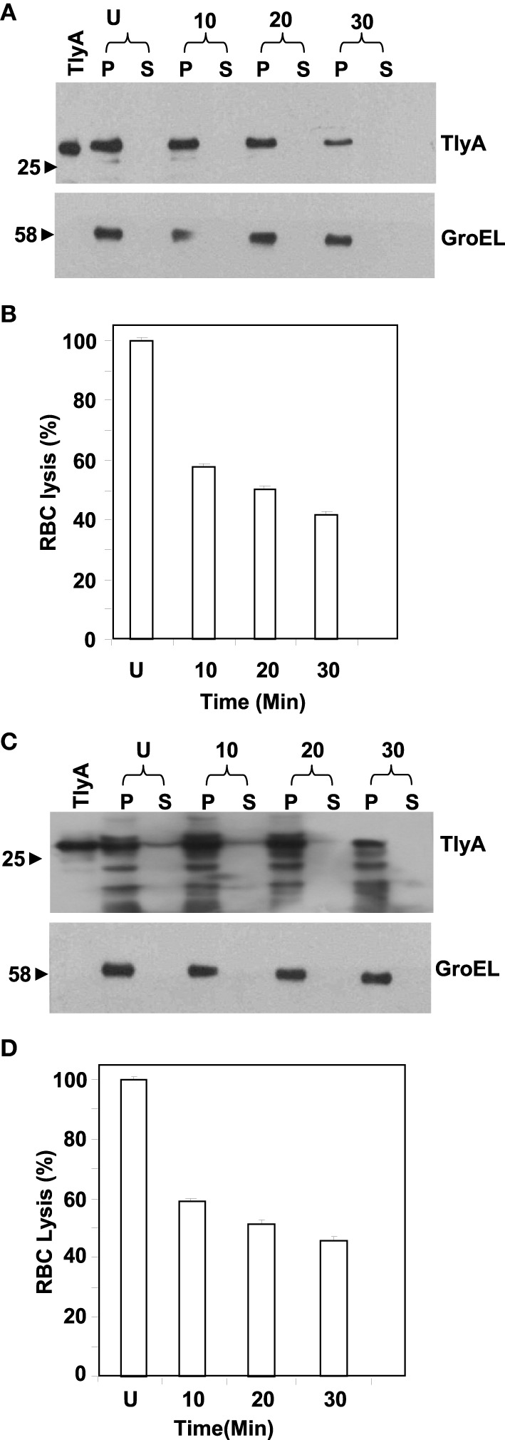 Susceptibility to extrinsic proteases of TlyA expressing  M. smegmatis  (A,B) and  E. coli  (C,D): M. smegmatis /TlyA  (C)  and  E. coli /TlyA  (D)  were treated with Proteinase K and the resultant samples were processed for 12% SDS–PAGE and detected with anti-TlyA antibody. P and S indicate pellet and supernatant obtained at indicated times in minutes. The antibodies used for the detection of the blot are indicated on the right side. The lane marked with TlyA indicates purified TlyA as control. The  (B,D)  respectively represent the hemolytic activity of the Proteinase K treated bacteria, shown in  (A , C ). The labels are indicated below the bars. Proteinase K treated bacteria.(7 × 10 7 ) were incubated with 1% rabbit RBC at room temp for 24 h to assess the degree of lysis by measuring the absorbance at 540 nm of RBC free supernatant.