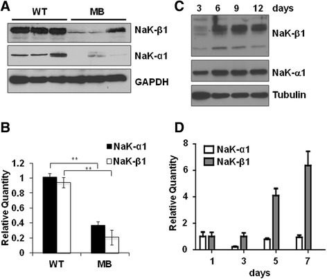 Na,K-ATPase subunits in medulloblastoma and CGP cells. a . Na,K-ATPase α 1 - and β 1 -subunit expression in cerebellum from 6 month old WT C57BL6/J mice (WT) and tumors from age-matched Smo/Smo mice. An immunoblot for GAPDH confirmed equal loading of protein. b . Na,K-ATPase α 1 -subunit and β 1 -subunit mRNA levels in WT and medulloblastoma cerebellum normalized to beta-2 microglobulin. For both α 1 - and β 1 -subunit the difference between WT and medulloblastoma cerebellum is statistically significant ( p