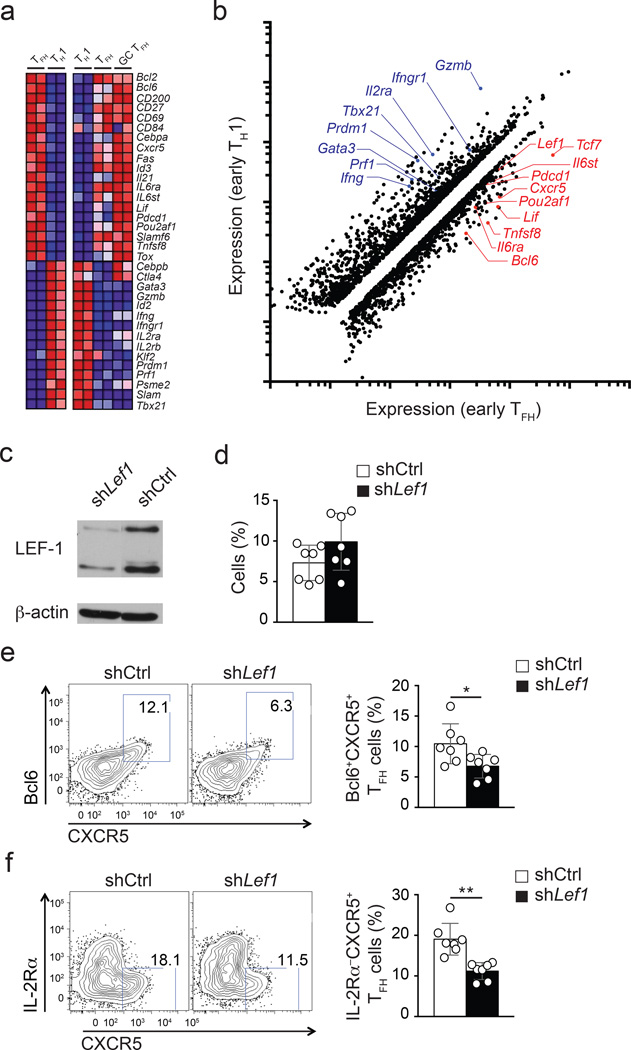 Lef1  expression is associated with T FH  cells and regulates early T FH  differentiation (a)  RNA-seq analysis of early T FH  (IL-2Rα − Blimp1-YFP − ) versus T H 1 (IL-2Rα + Blimp1-YFP + ) CD45.1 +  Blimp1-YFP SMARTA cells isolated from B6 mice 3 d after SMARTA cell transfer and LCMV infection (left panels), and that of T H 1 (CXCR5 − ), T FH  (PD-1 lo CXCR5 + ), and GC T FH  (PD-1 hi CXCR5 + ) sorted 8 d after LCMV from CD45.2 +  B6 mice (right panels). Heatmaps of selected genes of interest are shown.  (b)  Scatter plot of genes showing ≥ |1.5 fold| differential expression in early T FH  in comparison to T H 1 cells. Select genes of interest are marked.  (c)  Immunoblot of LEF-1 (two isoforms) and β-actin from sh Ctrl +  and sh Lef1 +  SMARTA cells.  (d-f)  Analysis of sh Ctrl +  or sh Lef1 +  CD45.1 +  SMARTA cells (Ametrine + CD45.1 + CD4 + CD19 − ), three days after transfer of shRNA-RV-infected SMARTA cells into B6 mice and LCMV infection.  (d)  shRNA +  SMARTA cell frequency among total CD4 +  T cells.  (e-f)  Phenotyping of sh Ctrl +  and sh Lef1 +  SMARTA cells. ( e ) Bcl6 + CXCR5 +  T FH  cells.  (f)  IL-2Rα − CXCR5 +  T FH  cells. Quantitation shown as % of SMARTA cells (mean ± s.e.m.). Data are a composite of two independent experiments (n = 7 per group). *  P