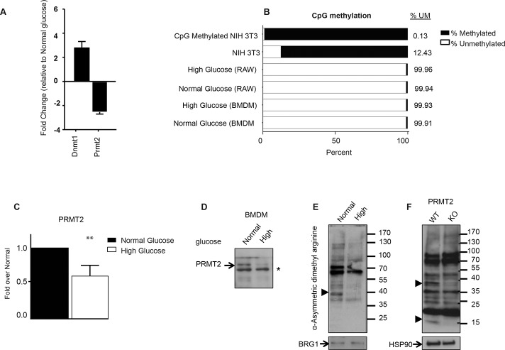 Chromatin-modifying enzymes expression and Abca1 CpG island methylation under high and normal glucose in macrophages. (A) RNA from RAW WT cells maintained under high (25 mM D-glucose) or normal (5.5 mM D-glucose + 19.5 mM L-glucose) glucose was profiled using a qRT-PCR-based chromatin-modifying array and expression changes in DNMT1 and PRMT2 are shown. (B) Epitect methyl CpG assay was employed to examine the methylation status of the Abca1 promoter CpG island. NIH 3T3 Mouse Genomic DNA and CpG Methylated NIH 3T3 Mouse Genomic DNA were used as controls. Input DNA was cleaved with methylation-sensitive and/or methylation-dependent restriction enzymes that digest unmethylated and methylated DNA, respectively. Following digestion, remaining DNA was quantified by qRT-PCR using primers that flank the CpG island. Percent methylation was determined by comparing the amount digested by each enzyme to a mock digested sample. (C) RNA from BMDMs differentiated under high (25 mM D-glucose) or normal (5.5 mM D-glucose + 19.5 mM L-glucose) glucose was extracted and levels of Prmt2 were profiled using qRT-PCR. (D) PRMT2 protein expression in normal and high glucose. Nuclear extract of BMDMs cultured as in C were blotted for PRMT2. Asterisk (*) represents a non-specific band, which serves as a loading control. (E) Nuclear protein extracts from BMDMs from wild type (WT) mice cultured in normal or high glucose and (F) whole cell extracts from BMDMs from wild type (WT) and Prmt2 -/- (KO) mice cultured under normal glucose were separated on a 4–20% gradient polyacrylamide gel and immunoblotted with an antibody specific for asymmetric dimethyl arginine. BRG1 or HSP90, serve as nuclear and whole-cell loading controls, respectively. Filled arrowheads represent asymmetric dimethyl arginine immunoreactive proteins uniquely present in one of the conditions.