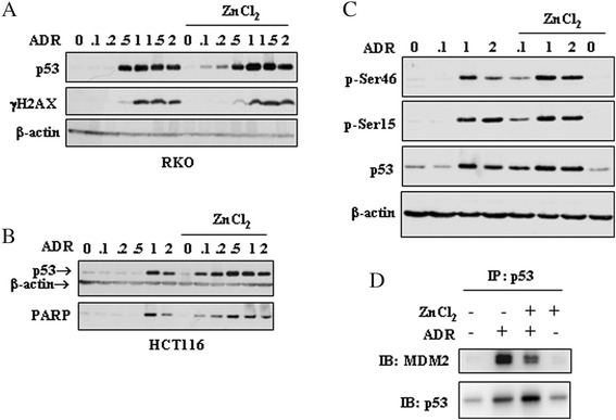 ZnCl 2 increases the low-dose ADR-induced p53 stabilization in colon cancer cells. ( a ) RKO and ( b ) HCT116, plated under the same confluence condition, were treated with increasing doses (0.1 to 2 μg/ml) of ADR in the presence or absence of ZnCl 2 (100 μM), for 24 h. Equal amounts of total cell lysates were subjected to immunoblot analysis for the detection of the expression levels of p53, γH2AX, and PARP (cleaved form). The samples derive from the same experiment and gels/blots were processed in parallel. ( c ) The phosphorylation of p53 at Ser15 and Ser46 was detected in HCT116 treated with ADR (0.1-1-2 μg/ml) in the presence or absence of ZnCl 2 (100 μM) for 24 h, by western blotting. Anti-β-actin was used as protein loading control. The samples derive from the same experiment and gels/blots were processed in parallel. The gels have been run under the same experimental conditions and one representative set of blot from three independent experiments, all generating similar results, is shown here. ( d ) HCT116 cells were treated with ADR (0.2 μg/ml) and ZnCl 2 (100 μM) for 24 h. After treatments, total cell extracts were immunoprecipitated with anti-p53 antibody. Western blot analysis was performed with anti-p53 and anti-MDM2 antibodies. IP: immunoprecipitation. IB: immunoblotting
