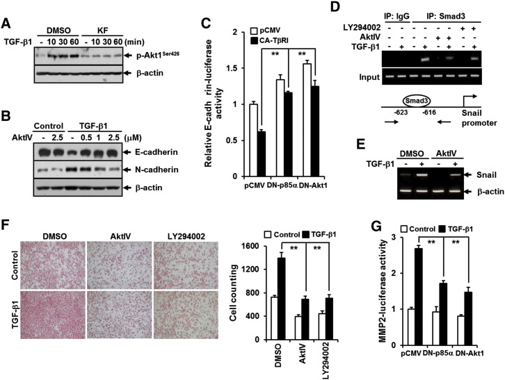 PI3K/Akt1 pathway is crucial for TGF-β1–induced EMT, cell migration, and MMP2 activation and is inhibited by KF. (A) A549 cells were treated as in Figure 4 A except for the TGF-β1 treatment for 90 minutes. (B) A549 cells were pretreated with DMSO or AktIV at the indicated concentrations for 30 minutes and then stimulated with 5 ng/ml of TGF-β1 for 48 hours. All cells were then subjected to Western blot analysis using anti–phospho-Akt, anti–E-cadherin, and anti–N-cadherin antibodies. β-Actin levels were monitored as a loading control for whole extracts. (C) A549 cells were transiently transfected with E-cadherin promoter-reporter (E-cadherin-Luc) combination with constitutively active TβRI (CA-TβRI, TβRI-T204D)-, dominant negative p85 (DN-p85, p85ΔiSH2-N)-, and dominant negative Akt1 (DN-Akt1, Akt1-K179M)-expressing plasmids and the corresponding empty vector (pcDNA). All quantitative data are the mean ± SD of three independent experiments. ** P