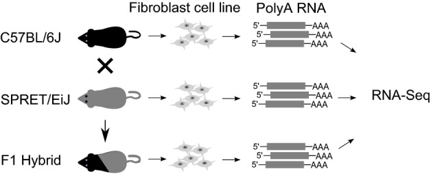 Study design Fibroblast cells were isolated from adult C57BL/6J, SPRET/EiJ, and the F1 hybrid mice and cultured. PolyA RNAs prepared from each cell line were sequenced on an Illumina HiSeq 2000/2500 platform.