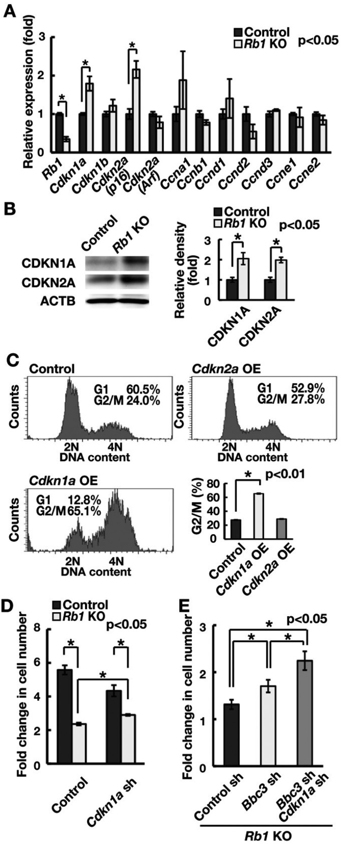 Suppression of the cell cycle by Cdkn1a induction following induction of Rb1 deficiency. (A) Real-time PCR analysis of cell cycle-related genes following Rb1 gene deletion. Cells were recovered 2 weeks after AxCANCre transfection (n = 3). (B) Western blot analysis of CDKI proteins following Rb1 gene deletion. Cells were recovered 2 weeks after AxCANCre transfection. The graph shows relative band intensity (n = 3). (C) Cell cycle analysis by Hoechst 33342 following Cdkn1a or Cdkn2a OE (MOI = 10). (D) Increased cell recovery of Rb1 KO GS cells following depletion of Cdkn1a . Cells were transfected with AxCANCre and a lentivirus expressing shRNA against Cdkn1a and recovered 1 week after infection (n = 3; MOI = 4). (E) Increased cell recovery of Rb1 KO GS cells following double depletion of Bbc3 and Cdkn1a . Cells were transfected with AxCANCre and a lentivirus expressing shRNA against the indicated genes and recovered 1 week after infection (n = 8; MOI = 4).