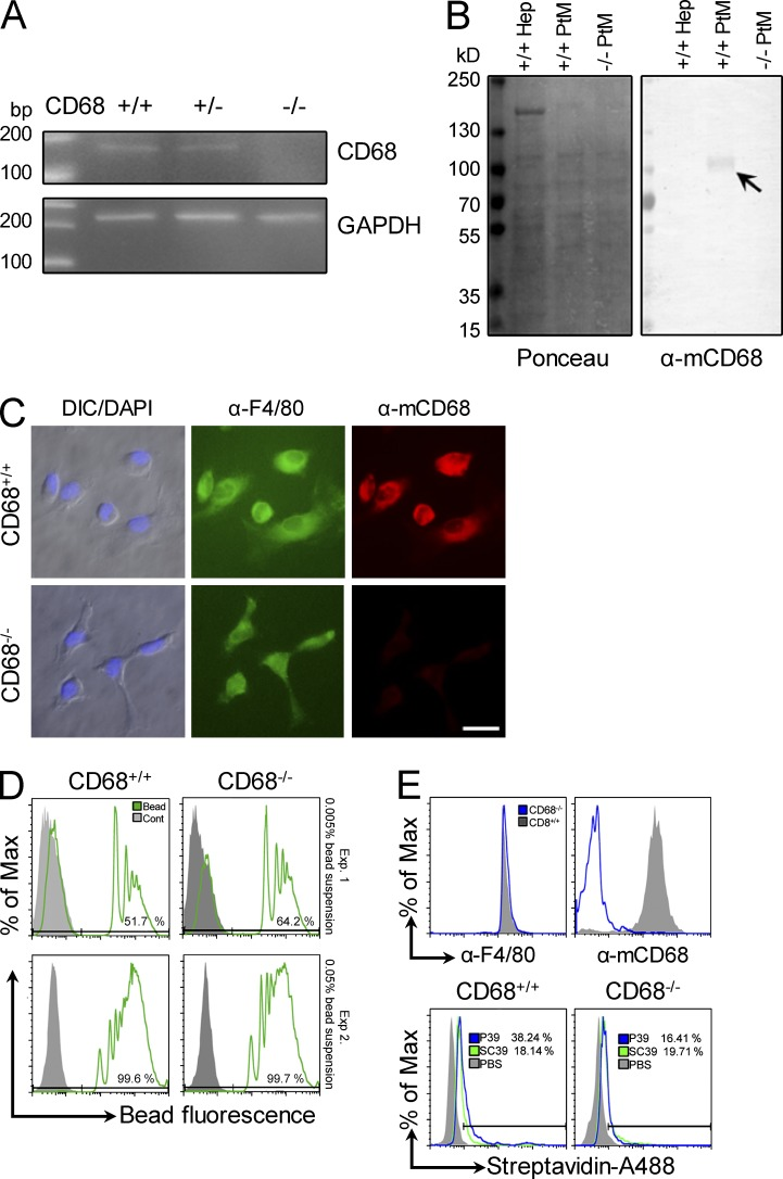 Characterization of wild-type and CD68 KO mice and their macrophages. (A) The genotype of the CD68 KO mice was confirmed using PCR with CD68-specific primers and mouse genomic DNA. +/+, wild-type mouse; +/−, heterozygous mouse; −/−, homozygous KO mouse. PCR with GAPDH primers served as a positive control. (B) Western blot of membrane proteins either stained (left) or incubated with an anti-CD68 antibody (right). Primary hepatocytes (Hep) served as a negative control. Arrow indicates CD68 signal in the +/+ lane. (C) Immunofluorescence assays of peritoneal macrophages from both wild-type and CD68 KO mice for anti-F4/80 expression. DIC, differential interference contrast. Bar, 20 µm. (D) Phagocytic activity of macrophages from CD68 KO mice. Flow cytometry results are shown for peritoneal macrophages incubated with two different fluorescent latex bead concentrations (Exp. 1 and Exp. 2 as indicated on the right of the figure). (E) KO macrophage recognition of the P39 peptide. Peritoneal macrophages from wild-type and CD68 KO mice were stained with the F4/80 antibody (recognizes macrophage-like cells) or an anti-CD68 antibody as indicated (top). The two cell types were also tested for uptake of the P39 peptide using the scrambled version, SC39, as a control (bottom). After incubation with the biotinylated peptides, cells were washed, fixed, and permeabilized for detection of intracellular peptide with Alexa Fluor 488–conjugated <t>streptavidin.</t> Data represent two independent experiments.