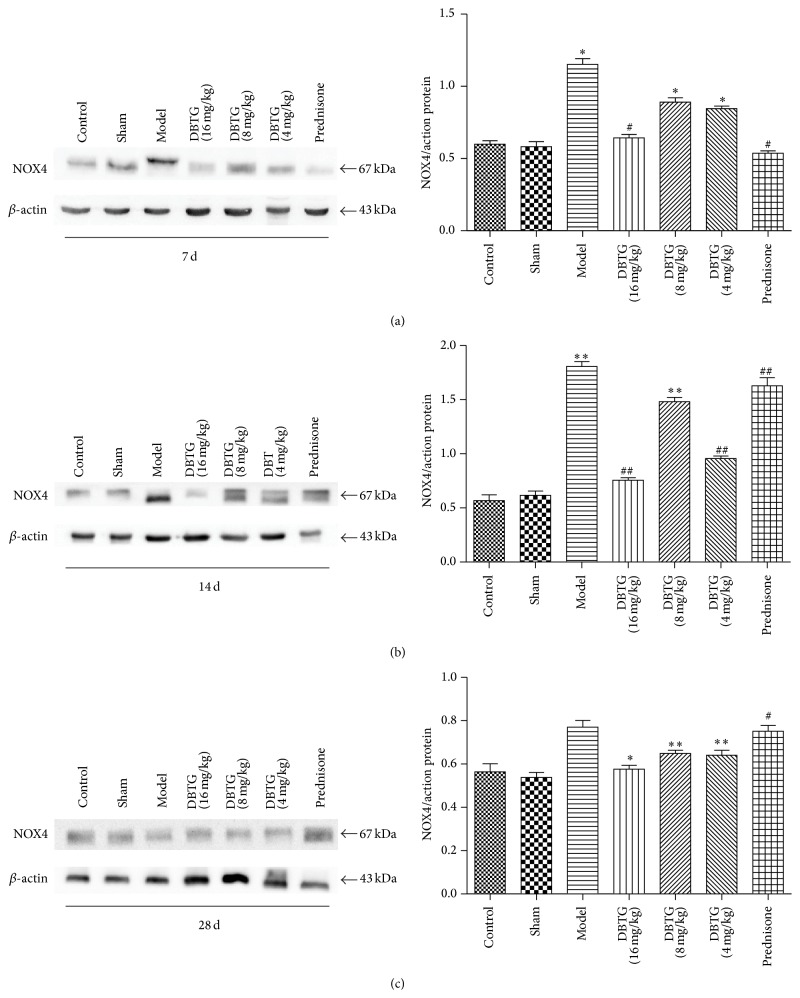 Effect of DBTG on expression of <t>NOX4</t> in BLM-induced rats PF. (a) Representative western-blots of NOX4 and β -actin at 7 days ( n = 3); (b) representative western-blots of NOX4 and β -actin at 14 days ( n = 3); (c) representative western-blots of NOX4 and β -actin at 28 days ( n = 3). The expression of NOX4 was inhibited in DBTG treatment groups contrast with model group. Data were expressed as mean ± SEM, ∗ p