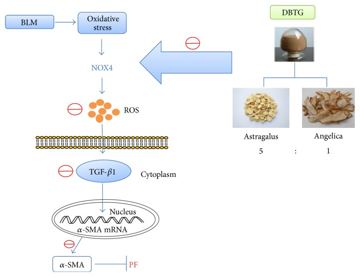 DBTG attenuates BLM-induced rats PF via regulating oxidative stress by inhibiting NOX4. In this study, oxidative stress happened in BLM-induced PF. And then, a lot of ROS was synthesized by NOX4 to promote the expression of TGF- β 1 and its downstream protein α -SMA that increased the degree of PF. DBTG could inhibit NOX4 to reduce ROS and control the level of oxidative stress. As the level of oxidative stress was regulated, the expression of TGF- β 1 and expression of α -SMA were both decreased and, at last, the development of PF could be inhibited.