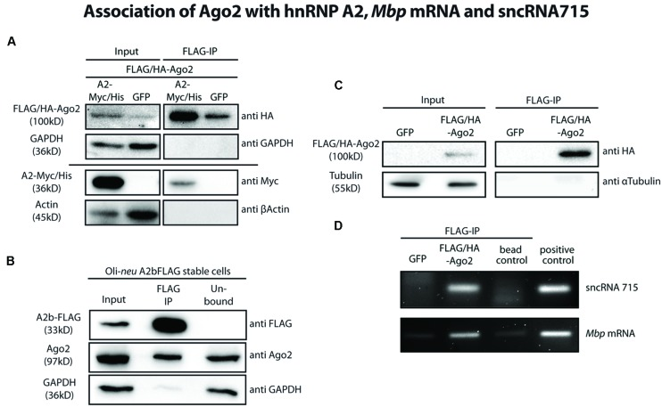 Ago2 associates with the Mbp mRNA transport machinery. (A) FLAG-tagged proteins were immunoprecipitated from FLAG/HA-Ago2 and A2-Myc/His or eGFP overexpressing Oli- neu cells using FLAG-M2 magnetic beads to analyze interaction of Ago2 and hnRNP A2 (lanes 3 and 4). The horizontal line separates two independent blots with equal sample loading. Lanes 1 and 2 show 2.5% of the protein input that was used for the immunoprecipitation (IP). Proteins were analyzed by western blotting using antibodies against HA- and Myc-tag. Antibodies against GAPDH and β-Actin were used to show specificity of the IP. (B) Immunoprecipitation of FLAG-tagged proteins from hnRNP A2b-FLAG stably expressing Oli- neu cells using FLAG-M2 magnetic beads (lane 2). Proteins were analyzed by Western blotting using antibodies against FLAG-tag and Ago2. Antibodies against GAPDH were used to show specificity of the IP. Lane 1 (input) shows 2.5% of the protein input that was used for the IP and lane 3 (unbound) the unbound protein fraction after incubation with the FLAG antibody beads. (C) IP of FLAG-tagged proteins from FLAG/HA-Ago2 or GFP overexpressing Oli- neu cells using FLAG-M2 magnetic beads (FLAG-IP, lanes 3 and 4). Lanes 1 and 2 (input) show 2.5% of the protein input that was used for the IP. Proteins were analyzed by western blotting using antibodies against HA-tag and α-Tubulin to show the specificity of the IP. (D) RNA was extracted from IP eluate of the experiment shown in C and analyzed by RT-PCR for sncRNA715 and Mbp mRNA. PCR products of Mbp (88 nt) and sncRNA715 (∼60 nt, due to the use of hairpin primers) were visualized in an ethidium bromide-stained 4% agarose gel. Positive control for sncRNA715 is the synthetic sncRNA715 (715-mimic) and for Mbp mRNA total RNA from primary rat oligodendrocytes at 14DIV. Negative control (bead control) reveals IP-reaction without addition of protein lysate to ensure specificity of the signals.