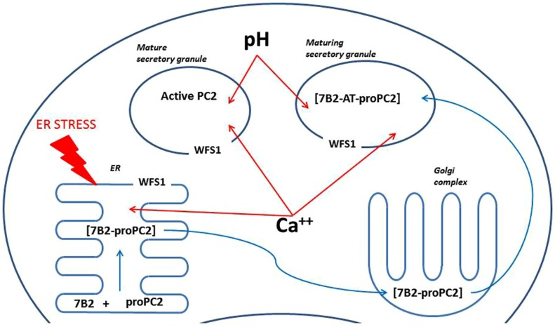 A scheme illustrating possible mechanisms of regulation of PC2 by Wfs1 . ProPC2 with its chaperon 7B2 are transported into endoplasmic reticulum (ER), where they form a complex, which exits the ER without PC2 propeptide cleavage. Thereafter 7B2- proPC2 complex enters Golgi complex, where 7B2 is internally cleaved into 21 kDa amino terminal part (7B2-AT) and 31 amino acids long carboxy-terminal part. Then 7B2-AT-proPC2 complex is transported into maturing secretory granules. In the maturing secretory granules PC2 propeptide is cleaved to an active PC2. Wfs1 protein is localized in the membrane of ER and also secretory granules, where it regulates Ca ++ levels and pH. In turn, pH and Ca ++ are known to regulate activity of PC2. In addition, lack of Wfs1 function leads to increased ER stress, which can alter proper folding of proPC2 and 7B2 in the ER.