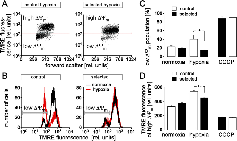 H/R-adapted cultures exhibit after H/R stress less hyperpolarization of the inner mitochondrial membrane potential (ΔΨ m ) than control cultures. ( A,B ) Dot plots ( A ) and histograms ( B ) showing forward scatter and tetramethylrhodamine-ethyl-ester-perchlorate (TMRE) fluorescence as a measure of cell size and ΔΨ m , respectively. Depicted are a control (left) and a H/R-adapted PT culture (right) recorded by flow cytometry under normoxic conditions (black lines in ( B )) and after H/R stress (48 h hypoxia/24 h reoxygenation; ( A ) and red histograms in ( B )). Cell populations with dissipated ΔΨ m (low ΔΨ m ) are indicated by gate and marker in A and B, respectively. ( C,D ) Mean percentage of control (open bars) and H/R-adapted cells (closed bars) with broken-down ΔΨm ( C ) and ( D ) mean TMRE fluorescence intensity of the cell population with high ΔΨ m (±SE, n = 9 from 3 cultures each determined in triplicate) recorded as in ( B ) under normoxic conditions (left), after H/R stress (48 h hypoxia/24 h reoxygenation, middle), or after pharmacological break-down of ΔΨ m by the proton ionophore carbonyl cyanide-3-chlorophenylhydrazone (CCCP, 1 μM). * and ** indicate p ≤ 0.05 and p ≤ 0.01, respectively (ANOVA).