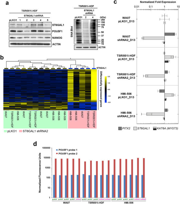 Downregulation of ST6GAL1 in hPSCs has an impact on signaling networks involved in pluripotency regulation and embryogenesis. ( a ) Left Panel: Western blotting analysis showed that two independent shRNA sequences (shRNA2 and shRNA5) that target ST6GAL1 transcripts led to effective downregulation of ST6GAL1 protein 72 hours after transduction. While the protein level of NANOG was relatively unaffected, the protein level of POU5F1 was decreased in hPSCs that received shRNA2 and shRNA5. Right Panel: SNA-mediated blotting showed that protein samples extracted from hPSCs which received shRNA2 had lower reactivity to SNA, indicating a decreased amount of α-2,6 sialylated glycoconjugates in the cells. pLKO1: the empty factor control for the transduction of shRNA expression vectors. ( b ) Global gene expression profiling followed by differential gene expression analysis revealed a group of genes (~400 genes) that were differentially expressed ( P