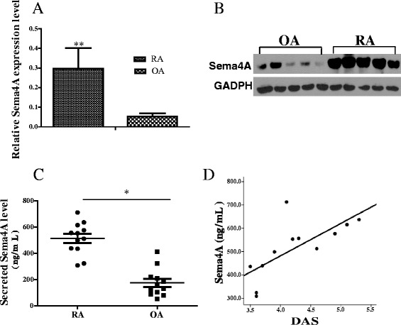Increased expression of semaphorin 4A ( Sema4A ) in rheumatoid arthritis ( RA ). a Sema4A mRNA (relative to glyceraldehyde-3-phosphate dehydrogenase (GAPDH)) was detected by qRT-PCR and its expression increased in the synovial tissues in RA (n = 12) compared with those in osteoarthrits ( OA ) (n = 12). b Western blot analysis showed that Sema4A protein increased in the synovial tissues of RA (n = 12) compared with those of OA (n = 12) (ratio Sema4A/GAPDH RA 2.39 ± 0.15; OA 0.42 ± 0.12, P = 0.016