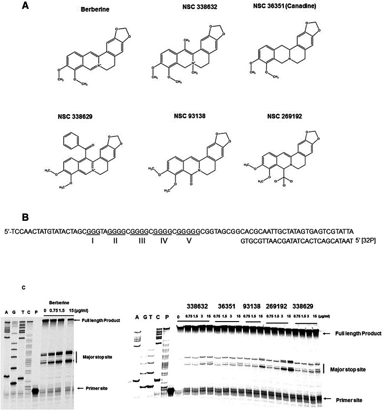 Taq DNA polymerase stop assay showing the stabilization of the RET G-quadruplex with berberine and its structural analogues. a Structures of berberine and its analogues. b Sequence of the single-stranded template DNA annealed with the 5′-[ 32 P] labelled primer used in DNA polymerase stop assay. c DNA polymerase stop assay at increasing concentrations of berberine (0, 0.75, 1.5, 15 μg/ml) and its analogues (0, 0.75, 1.5,3, 15 μg/ml). Lanes A, G, T C represent the di-deoxy sequencing reactions with the same template, which serve as the marker to identify the exact stop site. Lane P represents the position of the free primer on the gel