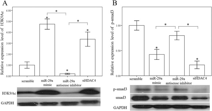 Overexpression of miR-29a increased histone H3 at lysine 9 (H3K9Ac) and decreased Smad3 expression in HSCs. A miR-29a mimic and HDAC4 RNAi significantly increased H3K9Ac and decreased both Smad3 and p-Smad3 expression in HSCs of WT mice. Data are expressed as the mean ± SE of four independent experiments. *indicates a p