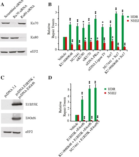 HDR stimulation by NU7441 and <t>KU-0060648</t> is comparable to other HDR enhancing tools. a Western blot showing knock down efficiency obtained with the siRNAs targeting either Ku70 or Ku80. b Quantitation of genome editing events from cells transfected with pQCiG-TLR and ΔeGFP donor in the presence of 2 μM NU7441, 250 nM KU-0060648, siRNAs targeting Ku70, Ku80, DNA-PKcs or DNA ligase IV, 1 μM Scr7, or a combination of Scr7 and 2 μM NU7441 or 250 nM KU-0060648. The HDR and NHEJ values are relative to those obtained with Cas9, sgRNA , and ΔeGFP donor in the presence of vehicle (DMSO). Results are from biological replicates performed in technical duplicates. Significance (relative to vehicle) was calculated using the Student's t -test: * p ≤0.05; ** p ≤0.01; ns, not significant. c Western blot showing expression of Adenovirus 5 proteins E1B55K and E4orf6 following transfection into the 293/TLR line. d Quantitation of genome editing efficiencies was as in B except that adenovirus 5 proteins E1B55K and E4orf6 expression vectors were co-transfected with pQCiG-TLR and ΔeGFP donor plasmids and cultured in presence or absence of 2 μM NU7441 or 250 nM KU-0060648. N = 4; error bars represent S.D. Results are from biological replicates performed in technical duplicates. Significance (relative to vehicle) was calculated using the Student's t -test: * p ≤0.05; ** p ≤0.01; ns, not significant