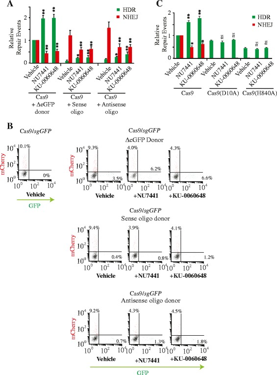 HDR directed by oligonucleotide donors are stimulated by DNA-PKcs inhibitors. a Quantitation of genome editing events from cells transfected with pQCiG-TLR and either ΔeGFP donor (2.5 kbp homology upstream and 1.5 kbp homology downstream of target site) or oligonucleotides (sense or antisense) (110 nucleotides) spanning the sgGFP target site and exposed to vehicle, 2 μM NU7441, or 250 nM KU-0060648. The HDR and NHEJ values are relative to those obtained with Cas9, sgRNA , and ΔeGFP donor in the presence of vehicle (DMSO). N = 4; error bars represent S.D. Results are from biological replicates performed in technical duplicates. Significance (relative to vehicle) was calculated using the Student's t -test: * p ≤0.05; ** p ≤0.01; ns, not significant. b Representative examples of FACS plot obtained in ( a ). Note that mCherry + cells are reporting on only one-third of all NHEJ events. c Quantitation of genome editing events from experiments performed as described in (a) except using WT Cas9 or the D10A and H840A nickase variants and the ΔeGFP donor. Values are set relative to editing frequencies observed in 293/TLR cells transfected with WT Cas9 expression vector and propagated in the presence of vehicle. N = 4; error bars represent S.D. Results are from biological replicates performed in technical duplicates. Significance (relative to vehicle) was calculated using the Student's t -test: * p ≤0.05; ** p ≤0.01; ns, not significant