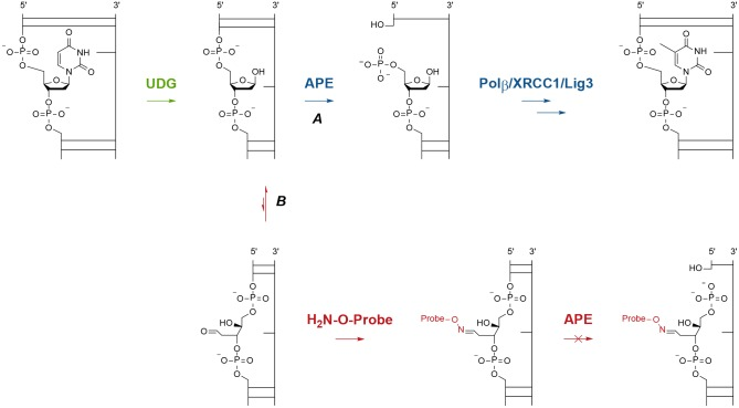 Molecular view of normal and interrupted BER. Path A: the short patch BER pathway following UDG removal of uracil in DNA. Path B: the proposed mechanism for interception of the reactive aldehyde present in the AP site with an aminooxy-tagged probe, which blocks further repair by APE and prevents the single strand break (SSB).