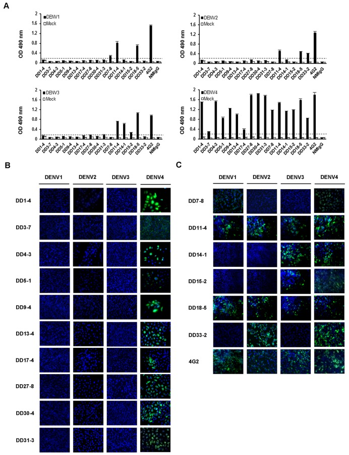 Characterization of mAbs against DENV1-4. (A) ELISA plates were coated with 1:800 dilutions of polyclonal rabbit anti-DENV hyper-immune sera at 4°C for 24 hours. After blocking, DENV1-4 viral supernatants were added, which were then detected by incubation with 1 μg/ml mAbs at RT for 2 hours. Next, the plates were incubated with HRP-conjugated goat anti-mouse IgG, and developed using OPD. The OD at a wavelength of 490 nm was measured. The cutoff values are represented by dotted lines. (B and C) BHK-21 cells were infected with DENV1-4, respectively. After 2 days, the infected cells were detected with mAbs. DD1-4, DD3-7, DD4-3, DD5-1, DD9-4, DD13-4, DD17-4, DD27-8, DD30-4, and DD31-3 are DENV4 serotype-specific mAbs. DD7-8, DD11-4, DD14-1, DD15-2, DD18-5, and DD33-2 are cross-reactive mAbs. 4G2 is the positive control.