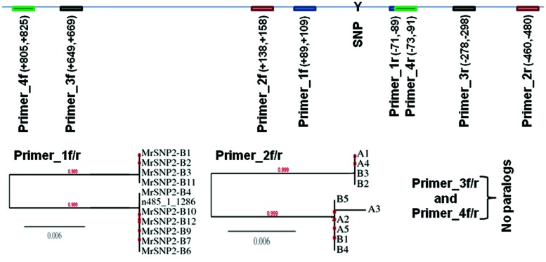 Sanger sequencing of partial genomic DNA flanking the putative heterozygous SNP marker 485_1_1286 as called by SAMtools mpileup and bcftools with default parameters from M. roreri isolates C13. PCR-amplicons were cloned into pCR4-TOPO vector followed by transformation into DH5-alpha Escherichia coli and 9–11 clones from each amplicon were randomly selected to be sequenced from both ends using M13F and M13R primers. ClustalW2 ( Larkin et al., 2007 ) was used to compare the DNA sequences of each clone and a distance tree of 100 bootstrapped data sets was generated by using the Phylogeny.fr program ( http://phylogeny.lirmm.fr/ ) and the neighbor-joining method.