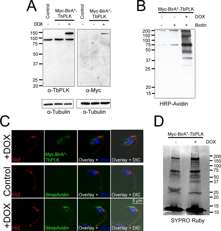 Characterization of the Myc-BirA*-TbPLK cell line. (A) Cells carrying doxycycline-inducible Myc-BirA*-TbPLK were treated with 20 ng/ml doxycycline (+) or a vehicle control (–), and then their lysates were probed with antibodies against TbPLK and Myc. Wild-type cells (control) were included as a control. (B) Myc-BirA*-TbPLK cells were treated (+) with 20 ng/ml doxycycline (DOX), biotin, or vehicle control (–), and then their lysates were probed with HRP-streptavidin to detect biotinylation. (C) Myc-BirA*-TbPLK cells were treated (+DOX) with doxycycline or a vehicle control (Control) and labeled with antibodies against the FAZ (FAZ; red) and either anti-Myc (Myc-BirA*-TbPLK; green) or Dylight 488–conjugated streptavidin (StrepAvidin; green), as well as with DAPI to label DNA (DNA; blue). (D) Myc-BirA*-TbPLK cells were incubated with biotin and either doxycycline (+) or a vehicle control (–), followed by lysis and incubation with streptavidin beads. The beads were washed, and 10% of the bound material was eluted and run on an SDS–PAGE gel, which was then imaged using SYPRO ruby.