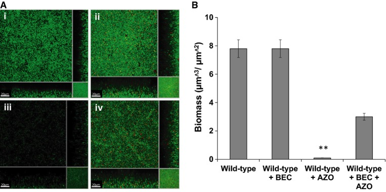 Addition of corticosteroids affects biofilm formation and antibiotic tolerance of H. influenzae H. influenzae biofilms were developed after 24 h in μ-well chambers in sBHI medium with and without corticosteroid and were then treated with the antibiotic azithromycin as specified. (i) H. influenzae wild-type with DMSO (solvent control); (ii) H. influenzae wild-type treated with 1 μM beclomethasone (BEC); (iii) H. influenzae wild-type treated with 150 μg/ml azithromycin (AZO); and (iv) H. influenzae wild-type treated with 1 μM beclomethasone (BEC) and 150 μg/ml azithromycin (AZO). For these experiments, H. influenzae was visualized with SYTO9 (green strain), as described in Materials and Methods. Scale bars = 20 μm. Images shown are representative of 12 images from five independent experiments. The biofilm biomass after treatments was quantified using COMSTAT. Data are presented as the average of five replicates, with error bar representing the standard deviation of the data. Statistical significance by two-tailed Student's t -test is indicated: ** P