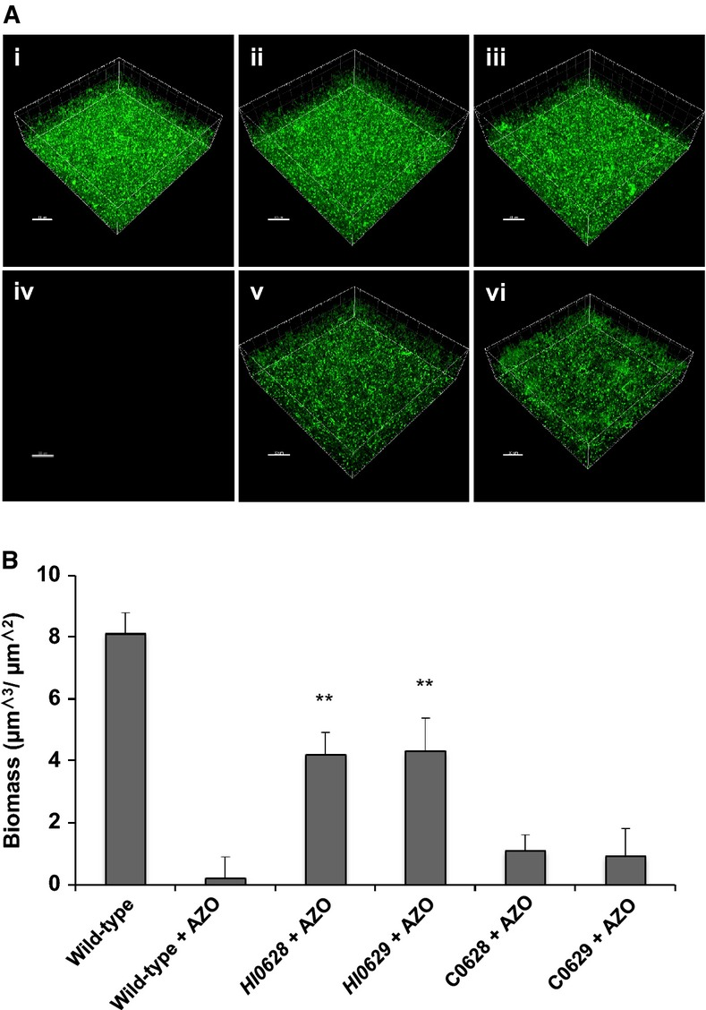 Mutation of genes encoding RpoE (HI0628) and MclA (HI0629) has similar effects on biofilm formation and antibiotic tolerance in H. influenzae Biofilms of different H. influenzae strains were developed after 24 h in μ-well chambers in sBHI medium and were the n treated with the antibiotic azithromycin as specified. (i) H. influenzae wild-type; (ii) rpoE ( HI0628 ); (iii) mclA ( HI0629 ); (iv) H. influenzae wild-type treated with 150 μg/ml azithromycin; (v) rpoE ( HI0628 ) treated with 150 μg/ml azithromycin; (vi) mclA ( HI0629 ) treated with 150 μg/ml azithromycin. For these experiments, H. influenzae was visualized with SYTO9 (green strain), as described in Materials and Methods. Scale bars = 20 μm. Images shown are representative of 12 images from five independent experiments. The biofilm biomass after treatments was quantified using COMSTAT. Data are presented as the average of five replicates, with error bars representing the standard deviation of the data. Statistical significance by two-tailed Student's t -test is indicated: ** P