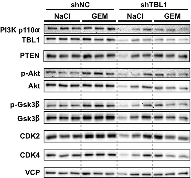 TBL1-depletion leads to reduction in PI3 kinase p110α and cell cycle-associated proteins Panc02 cells with stable expression of shRNA were implanted subcutaneously into C57Bl6/N mice. Seven days later, mice were treated with 20 mg/kg gemcitabine delivered by intraperitoneal injection. After 21 days, mice were sacrificed, tumors were removed and proteins were extracted and immunoblotted.