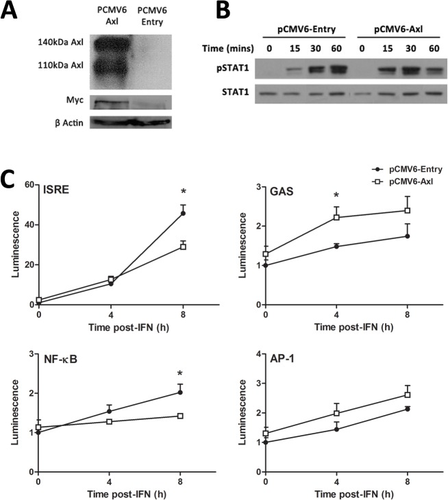 AXL overexpression dampens the response to IFNα. Stable transfection of Huh-7 cells with PCMV6-AXL was confirmed by western blot, using antibodies against AXL or the fusion Myc tag (A). Huh-7 cells overexpressing AXL induced a stronger but more transient phosphorylation of STAT1 (B), with increased phosphorylation at 15 and 30 minutes post-IFN (50 u/ml), but a strong decrease at 1 h (2 replicates). ISRE and NFκB promoter activation was decreased almost 2 fold at 8 h post-IFN treatment in cells overexpressing AXL, while GAS activation were increased 2 fold at 4 h post-IFN treatment (C). No effect on AP-1 promoter activation was observed (* p