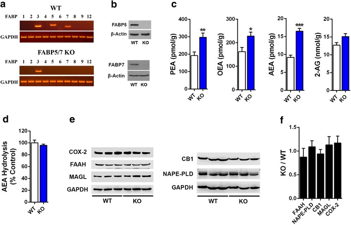 Characterization of the brain endocannabinoid system in FABP5/7 KO mice. a RT-PCR analysis of FABP expression in brains of WT and FABP5/7 KO mice. Note that of the ten FABP isoform profiled, selective deletion of FABP5 and FABP7 was observed in the brains of FABP5/7 KO mice. b Western blot confirms the absence of FABP5 and FABP7 in the brains of FABP5/7 KO mice. c Brain PEA, OEA, AEA, and 2-AG levels in WT and FABP5/7 KO mice. *p
