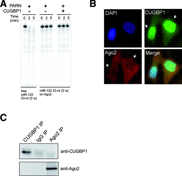 Ago2 protects miRNAs from degradation by PARN. ( A ) Free miR-122 or miR-122 loaded onto 5×Flag-Ago2 was incubated with recombinant PARN (690 pM) in the absence or presence of CUGBP1 (10.4 nM). Aliquots of the reaction mixture were collected and analyzed at the indicated time period. ( B ) Analysis of the subcellular localizations of endogenous CUGBP1 (green) and Ago2 (red) in Huh7 cells by immunofluorescence staining. Nuclei were stained with DAPI (blue). All images were superimposed to generate the merged panel. ( C ) Immunoprecipitation and immunoblot analyses showing the lack of interaction between CUGBP1 and Ago2 in Huh7 cells. As a control, immunoprecipitation was performed using non-specific IgG.