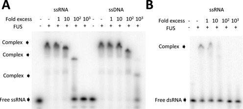FUS has mutually exclusive binding sites for single-stranded RNA, DNA and dsRNA. ( A ) ssRNA and ssDNA bind FUS mutually exclusively. Increasing amounts of unlabeled ssRNA or ssDNA were mixed with 20 nM radiolabeled ssRNA and the mixtures were incubated with 350 nM FUS. ( B ) ssRNA and dsRNA compete for binding to FUS. The same binding competition assay was performed as in (A) except various amounts of unlabeled ssRNA were mixed with 20 nM radiolabeled dsRNA.