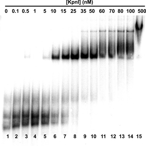 Example of anti-KpnI aptamer 20 binding to KpnI as measured by quantitative electrophoretic gel mobility shift assay. A total of 13 nM radiolabeled RNA aptamer titrated with increasing concentrations of KpnI as indicated.