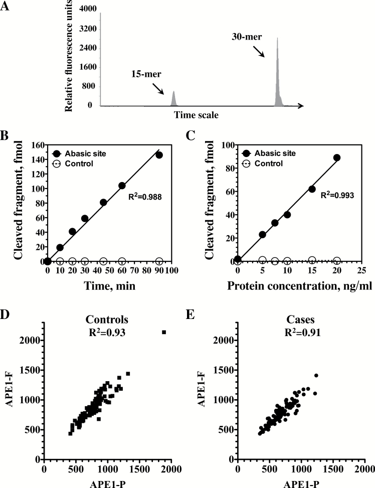 Fluorescence-based APE1 DNA repair assay. ( A ) Example of a fluorescent plot of the APE1 reaction products analyzed by capillary gel electrophoresis, using the ABI3130XL genetic analyzer and the GeneMapper software. ( B and C ) Time course and protein extract titration, respectively, of APE1 DNA repair activity under optimized reaction conditions in protein extracts prepared from peripheral blood mononuclear cells. Quantification was done by quantifying fluorescent plots such as the one presented in A. Closed circles, substrate with an abasic site; Open circles, control DNAs without the lesion. ( D and E ) Correlation between the radioactivity-based APE1 assay (APE1-P) and the fluorescence-based APE1 assay (APE1-F) in control subjects (closed squares; D) and case patients (closed circles; E).