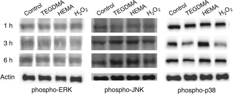 Effects of TEGDMA, HEMA, and H 2 O 2 on the expression of MAP kinase proteins (ERK, JNK, and p38). Cells were treated with 0.5 mM TEGDMA, 2 mM HEMA, and 0.2 mM H 2 O 2 for 1, 3, and 6 hrs. A representative image from three independent experiments is shown.
