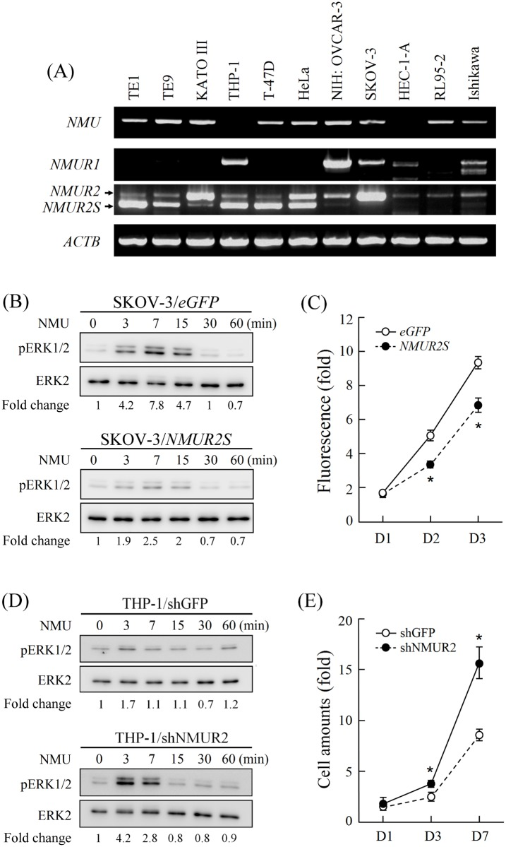 Expression of NMUR2S and its effects on cancer cell signaling and progression. (A) The transcripts of NMU , NMUR1 , NMUR2 and NMUR2S were compared in diverse cancer cell lines. β-actin ( ACTB) levels served as loading controls. (B) SKOV-3 cells overexpressing eGFP or NMUR2S , or (D) THP-1 cells with eGFP or NMUR2S knockdown were then treated with 100 nM NMU for different intervals before estimating the amounts of phosphorylated ERK1/2 (pERK1/2) and total ERK 1/2 by Western blotting. The ratios of pERK1/2 to ERK 1/2 in each sample were then calculated by densitometry and are shown below. (C) Cell proliferation rates between eGFP -expressing and NMUR2S -expressing SKOV-3 cells were compared using the AlamarBlue assay. The fluorescence value of the cells on day 0 (D0) served as a one-fold control. (E) Cell proliferation rates between GFP -knockdown and NMUR2S -knockdown THP-1 cells were compared by counting the cell numbers directly. The amount of THP-1 cells on day 0 (D0) served as a one-fold control. *, P