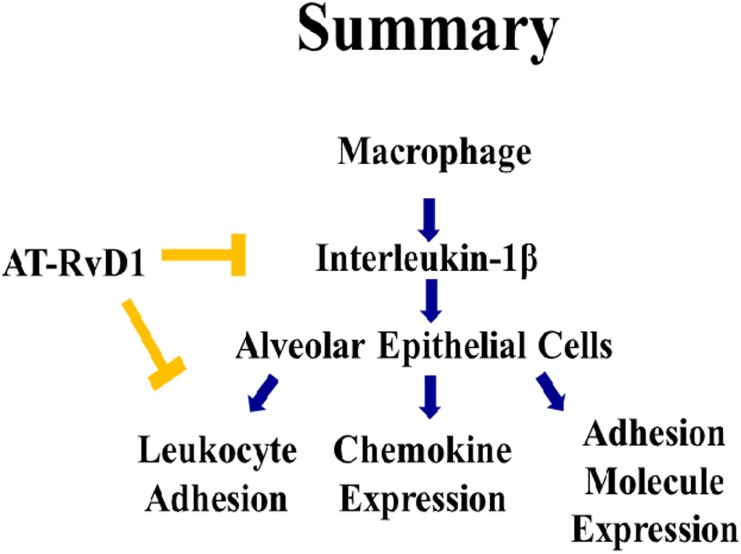 AT-RvD1 blunts macrophage and epithelial communication through reduced cytokine signaling. Exposure to oxidative stress leads to an enhanced secretion of proinflammatory cytokines, with IL-1β being the most bioactive for ALI patients. IL-1β secretion results in alveolar epithelial cell activation which is hallmarked by enhanced barrier function, cytokine secretion, and adhesion molecule expression. We found that AT-RvD1 was able to interrupt the macrophage to alveolar communication through the blockage of IL-1β signaling. Upon treatment of alveolar epithelial cells with IL-1β, there was an increase in inflammatory activation, which was significantly attenuated with AT-RvD1 treatment.