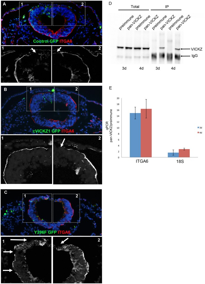 VICKZ1 mediates Integrin α6 expression and co-immunoprecipitates with Integrin α6 mRNA. 2-4ss embryos were electroporated with control-GFP (A), full length VICKZ1- GFP (B), or Y396F-GFP (C), and then fixed and stained for Integrin α6 (red) and GFP (green) 10 hours later. In control-GFP transfected embryos, Integrin α6 is down-regulated in the dorsal aspect of the tube in the region where CNC delaminate, on both the transfected and non-transfected sides (A, inset 1 and 2). Overexpression of VICKZ1 maintains Integrin α6 expression even in the most dorsal regions of the tube, but only on the transfected side (B, inset 1), and not on the non-transfected side (B, inset 2). Y396F expression causes a precocious emigration of CNC and down-regulation of Integrin α6 in more lateral regions of the tube, only on the transfected side (C, inset 1) and not on the non-transected side (C, inset 2). All insets show only the red channel (ITGA6). Arrows in insets indicate areas of downregulation of ITGA6. (D) RNP complexes were prepared from 3d and 4d old chick embryos and immunoprecipitated with either pre-immune serum or pan-VICKZ antibody. Equal volumes of total lysates (Total) and immunoprecipitates (IP) were subjected to western blot analysis using the pan-VICKZ antibody. VICKZ protein is pulled down exclusively by the pan-VICKZ antibody. (E) Quantitative <t>RT-PCR</t> analysis was performed on <t>cDNAs</t> prepared from both pre-immune and pan-VICKZ immunoprecipitations and tested for the presence of ITGA6 mRNA. Values of pan-VICKZ IP mRNA were normalized to the amounts of total mRNA, and compared to the pre-immune normalized values (pan-VICKZ/pre-immune). A 15–16 fold enrichment of ITGA6 mRNA is observed in the pan-VICKZ IP, as compared to the pre-immune serum. A control RNA, 18S, shows only 1–2 fold enrichment when analysed in the same way. The data show the mean±SEM.