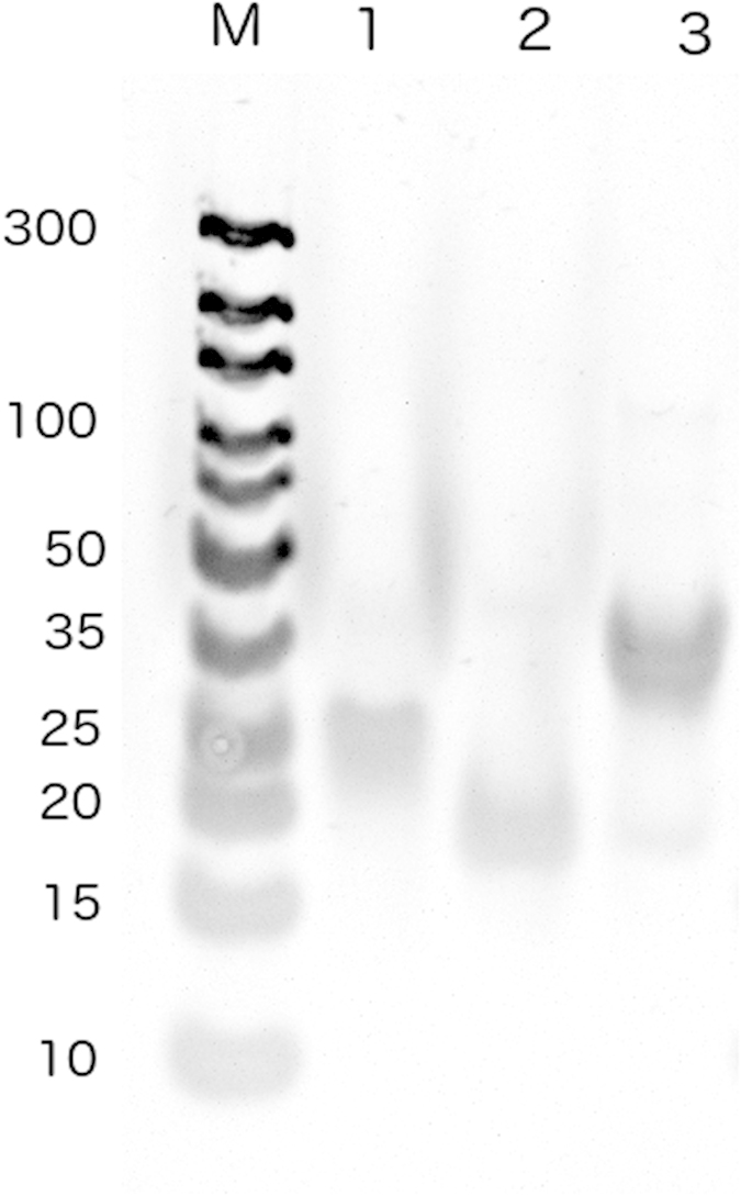 Polyacrylamide gel electrophoresis (15%) using 1x TAE buffer (constant voltage of 120 V, 90 min) and stained with SYBR gold (1x). Lane codes: M. <t>Generuler</t> ultra low range <t>DNA</t> ladder; 1. hsa-miR-145-3p; 2. hsa-miR-145-5p; 3. miRNA-145.