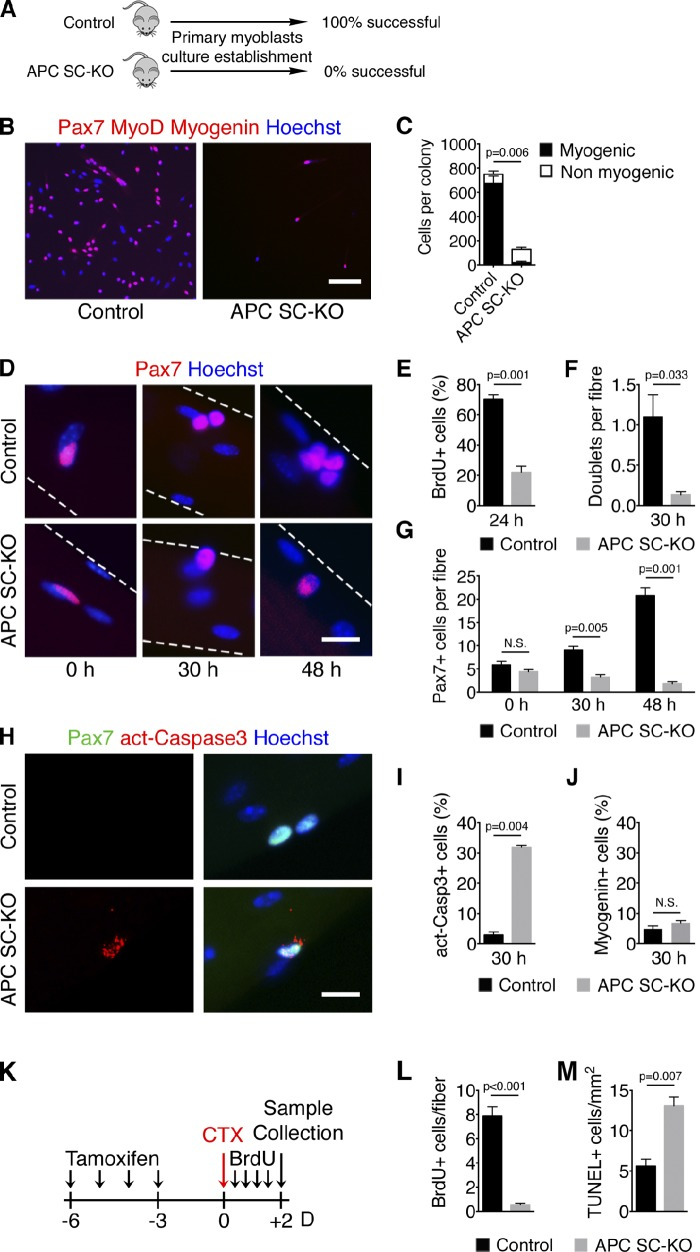 APC-null satellite cells lose their myogenic potential and undergo apoptosis upon activation. (A) Scheme of success ratio in generation of primary myoblasts culture from TM-treated control and APC SC-KO mice. (B) Pax7, MyoD, and Myogenin immunostaining on myogenic colonies obtained from single EDL fibers cultured on Matrigel for 7 d. (C) Quantification of the number of myogenic and nonmyogenic cells per colony obtained in B. P-value refers to the myogenic proportion. (D) Pax7 immunostaining on single EDL fibers isolated and fixed (0 h) or cultured in floating conditions for 30 or 48 h (broken lines indicate the underlying fiber). (E) Quantification of BrdU-incorporating satellite cells on EDL fibers after 24 h of culture. (F) Quantification of satellite cell doublets per fiber after 30 h of culture. (G) Quantification of total number of satellite cells per fiber after 0, 30, and 48 h of culture. (H) Pax7 and activated Caspase3 (act-Casp3) immunostaining on EDL single fibers after 30 h of culture. (I) Quantification of apoptotic satellite cells after 30 h of culture. (J) Quantification of the percentage of satellite cells on EDL fibers expressing Myogenin after 30 h of culture. (K) Schematic representation of the in vivo analysis of satellite cell proliferation and survival upon muscle injury. (L and M) Quantification of BrdU-incorporating satellite cells on regenerating EDL fibers (L) and of apoptotic cells by TUNEL staining on TA sections (M) 2 d after injury. Bars: (B) 100 µm; (D and H) 10 µm. Error bars indicate SEM. N.S., not significant (P > 0.05).