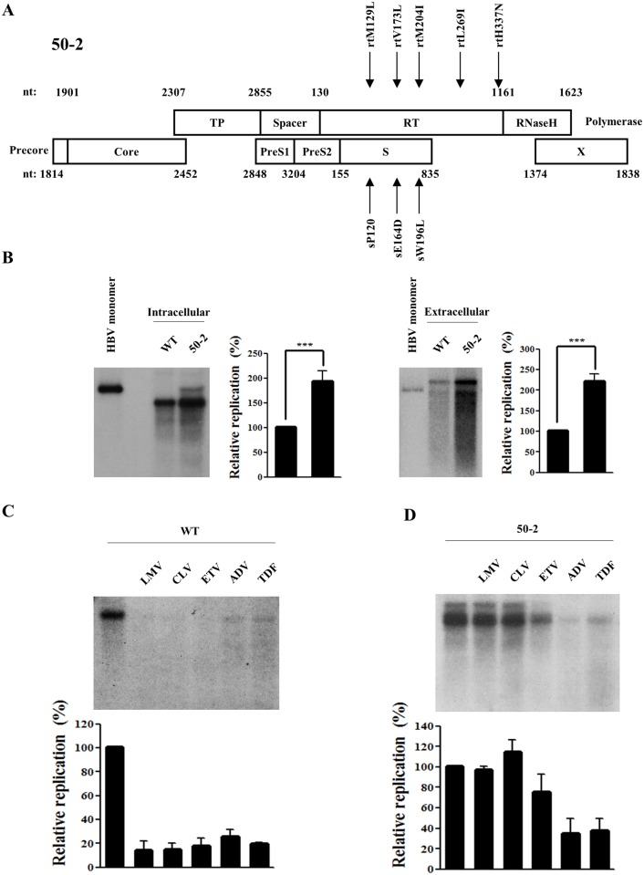 Characterization of multi-drug resistant HBV mutant 50–2 isolated from a chronic HBV patient. (A) Schematic representation of the mutations in RT and overlapping surface gene of clone 50–2. The amino acid changes in polymerase and corresponding surface gene are indicated by arrows. (B) Comparison of intracellular and extracellular secreted HBV DNA levels between WT virus and clone 50–2. The HBV 1.2mer construct plasmids (2 μg) were transfected into Huh7 hepatoma cells and harvested at 72h post-transfection. The linearized 3.2kb HBV genome was loaded in lane 1 as a marker. (C) (D) In vitro susceptibility WT HBV (C) and clone 50–2 (D) to lamivudine (LMV), clevudine (CLV), entecavir (ETV), adefovir (ADV), and tenofovir (TDF). Cells were treated for 3 days with each drug, and the replication level was compared with that of the WT (without drug treatment). The relative HBV replication level was quantified using Phosphorimager. The standard deviation of three independent experiments was measured (***, P