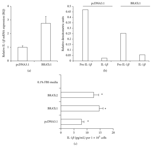 IL-1 β protein and message levels are increased in stably transfected BRAT cells. (a) Cells stably expressing BRAT or the pcDNA3.1 cells were plated at equal densities and RNA was isolated, DNAse-treated, and reverse-transcribed. Real-time PCR was performed in triplicate for IL-1 β and actin using SYBR Green detection and the data are expressed as the mean fold difference ± standard error. (b) pcDNA3.1 and BRATc1 cells were analyzed for precursor (pro-) and cleaved IL-1 β protein expression via western blot. Blots were then stripped and probed for β -actin as a loading control. Values represent relative densitometry. (c) pcDNA3.1, BRATc1, and BRATc2 cells were plated in triplicate at similar densities and conditioned media were collected. IL-1 β ELISA activity assay was performed in triplicate and the data are expressed as the mean ± standard error. Symbol ( ∗ ) denotes statistical significance at the 0.01 confidence level between BRAT and PCDNA3.1 cells.