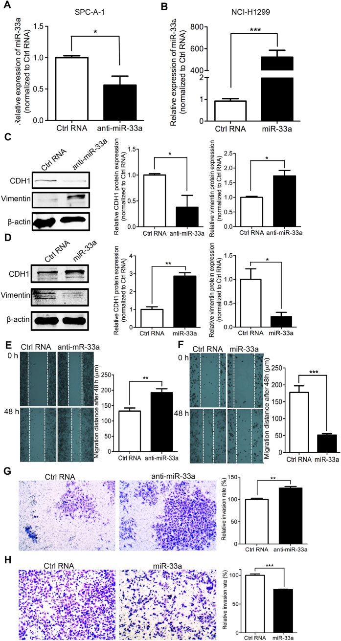 miR-33a knockdown induces EMT and metastasis and miR-33a overexpression blocks EMT and metastasis. ( A ) SPC-A-1 cells was transfected with miR-33a inhibitors (anti-miR-33a) or inhibitor NC (Ctrl RNA) and ( B ) NCI-H1299 cells was transfected with miR-33a mimics (miR-33a) or mimics NC (Ctrl RNA), the levels of mature miR-33a were confirmed by quantitative RT-PCR. Western Blotting was performed after the transfection of RNAs. The changes of epithelial cell biomarker E-cadherin and mesenchymal cell biomarker Vimentin were shown in SPC-A-1 ( C ) and NCI-H1299 ( D ) cells. The migration and invasion capability were respectively measured after the transfection of RNA oligos in SPC-A-1 ( E , G ) and NCI-H1299 ( F , H ) cells. * P