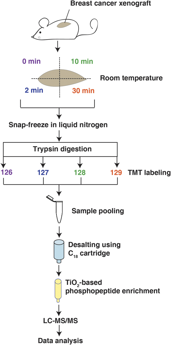 Phosphoproteomic profiling of xenograft tumors during ischemia. A schematic workflow of the strategy used to profile the phoshoproteomic changes resulting from ischemia. Whole xenograft tumors from the breast cancer cell line HCC1395 were harvested from mice and exposed to room temperature for 0, 2, 10 and 30 minutes before snap freezing in liquid nitrogen. After protein extraction and digestion with trypsin, each sample was labeled with different versions of TMT reagents followed by pooling, desalting, and enrichment using TiO 2 beads. The enriched phosphopeptides were then analyzed on LTQ-Orbitrap Elite mass spectrometer without further fractionation. Figure drawn by M.S.Z.