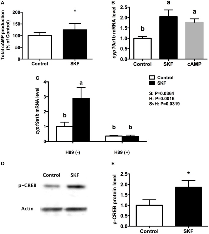 Involvement of D1R/cAMP/PKA/p-CREB signaling pathway in dopaminergic regulation of cyp19a1b mRNA in RGC culture . Total cAMP production rapidly increased by 10 μM SKF 38393 (30 min). Data were normalized to control value and defined as % of control, bars represent the mean + SEM ( n = 3), and values for each sample were determined in duplicate. (A) Regulation of cyp19a1b mRNA in primary RGC culture after 24 h exposure of 8-Br-cAMP (B) , SKF 38393 and/or H89 (C) . Data were defined as fold change relative to control, bars represent the mean + SEM of cyp19a1b ( n = 4), and values for each sample were determined in duplicate. Western blot image showing the effects of SKF 38393 on p-CREB immunoreactivity, where actin served as internal control (D) . The densitometric analysis of western blot is reported as an arbitrary value relative to the average of all bands on the same blot. Data were normalized and defined as fold change relative to control, and bars represent the mean + SEM ( n = 6) (E) . a,b-Groups marked by different letters are significantly different ( P
