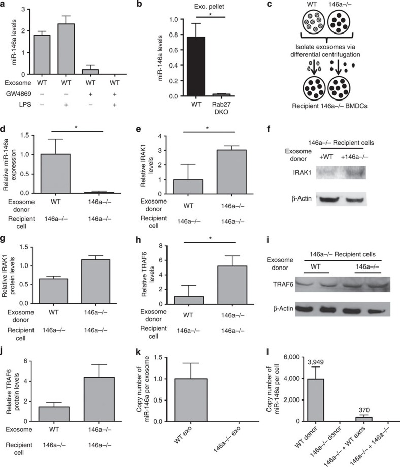 Functional transfer of miR-146a via exosomes in vitro . ( a ) Levels of miR-146a in the exosomal pellet derived from BMDCs that were treated with or without GW4869 and LPS ( n =2). ( b ) miR-146a levels in Wt and Rab27 DKO BMDC-derived exosomal pellets ( n =2). ( c ) Schematic of miR-146a exosome-transfer experiment where Wt or miR-146a−/− exosomes were isolated from BMDCs and transferred to recipient miR-146a−/− BMDCs. RNA was isolated after 24 h and the presence of miR-146a was assayed via qRT–PCR. ( d ) Relative levels of miR-146a in miR-146a−/− BMDCs given exosomes derived from Wt or miR-146a−/− BMDCs ( n =4). ( e ) mRNA levels of miR-146a target, IRAK1, were measured from the same cells as in d via qRT–PCR ( n =4). ( f ) Representative western blottings of IRAK1 and β-actin from miR-146a−/− cells given either Wt or miR-146a−/− exosomes. ( g ) IRAK1 protein levels were quantified using ImageJ software ( n =2). ( h ) mRNA levels of miR-146a target, TRAF6, were measured in the same cells as in d via qRT–PCR. ( i ) Western blottings for TRAF6 and β-actin from miR-146a−/− BMDCs given either Wt or miR-146a−/− exosomes ( n =2). ( j ) Western blotting results are quantified with ImageJ software. ( k ) Copy number of miR-146a in Wt and miR-146a−/− exosomes ( n =3). Copy number is calculated based on a standard curve where a known amount of synthetic miR-146a was spiked into miR-146a−/− BMDC-derived exosome pellet followed by RNA isolation and qRT–PCR. ( l ) Copy number of miR-146a was measured via qRT–PCR in miR-146a−/− recipient BMDCs that received either Wt or miR-146a−/− exosomes (146a−/− BMDC+ Wt exos and 146a−/− BMDC+146a−/− exos), as well as in Wt and miR-146a−/− donor BMDCs ( n =3). Average copy number is displayed above. Copy number is calculated based on a standard curve where a known amount of synthetic miR-146a was spiked into miR-146a−/− BMDC pellet followed by RNA isolation and qRT–PCR. Data represent two independent experiments and are presented as the mea
