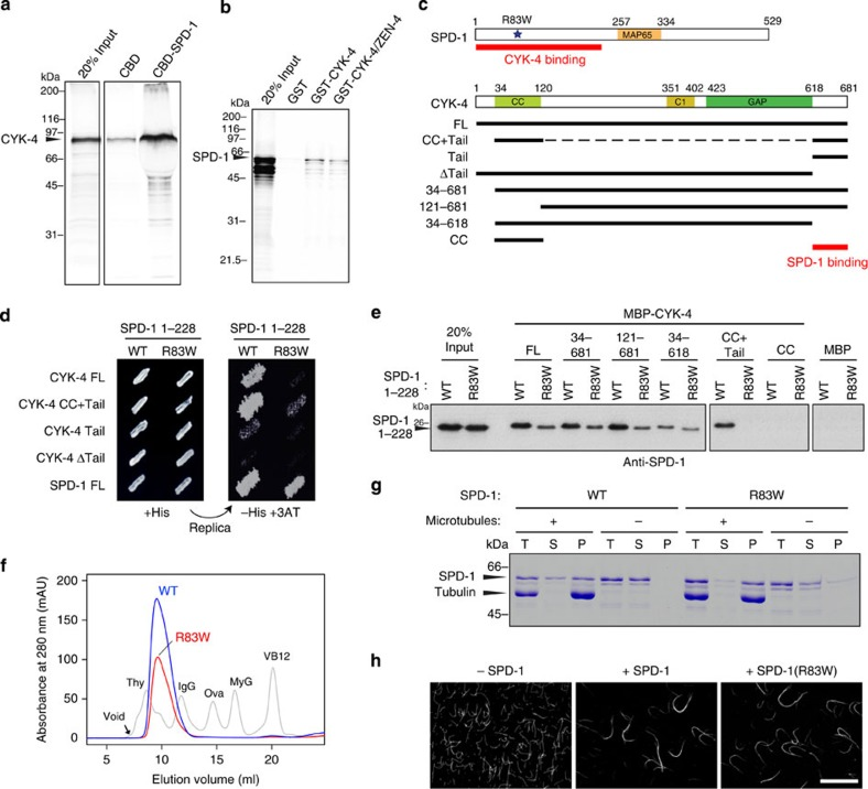 Physical interaction between SPD-1 and CYK-4 sensitive to SPD-1 R83W mutation. ( a ) In vitro translated full-length CYK-4 was pulled down by full-length SPD-1 immobilized on chitin beads via a chitin-binding domain (CBD) tag. ( b ) In vitro translated full-length SPD-1 was pulled down by full-length CYK-4 or the centralspindlin holocomplex (CYK-4/ZEN-4) immobilized on glutathione-Sepharose beads via a glutathione- S -transferase (GST) tag. ( c ) Schematic drawings of SPD-1 and CYK-4. R83W indicates the mutation found in the spd-1(oj5) mutant exhibiting central spindle defects. ( d ) Yeast 2-hybrid assay of the indicated combinations of bait and prey. Growth on histidine-deficient medium containing 3-amino-1,2,4-triazole (–His+3AT) indicates a positive interaction between the bait and prey. ( e ) SPD-1 1-228 fragment with or without the R83W mutation (WT: wild type) was pulled down by CYK-4 constructs expressed as fusion proteins with maltose-binding protein (MBP) and detected with an anti-SPD-1 antibody. The CYK-4 tail region is necessary and, if dimerized, sufficient for efficient binding. ( f ) The R83W mutation does not affect the mobility of the SPD-1 full-length protein in Superdex 200 size-exclusion chromatography (blue: wild type; red: R83W). The elution profile of a mixture of standard proteins (Thy, thyroglobulin; IgG, gamma globulin; Ova, ovalbumin; MyG, myoglobin; VB12, vitamin B12) is shown in grey. ( g , h ) The R83W mutation does not affect the interaction of SPD-1 with microtubules. ( g ) Wild-type and R83W SPD-1 were incubated with microtubules or control buffer and sedimented by ultracentrifugation. P, pellet; S, supernatant; T, total. Increased recovery in the pellet in the presence of microtubules indicates the co-precipitation of SPD-1 with the microtubules. ( h ) Microtubules were incubated with SPD-1 with or without the R83W mutation and visualized by immunofluorescence following fixation. Scale bar, 20 μm.