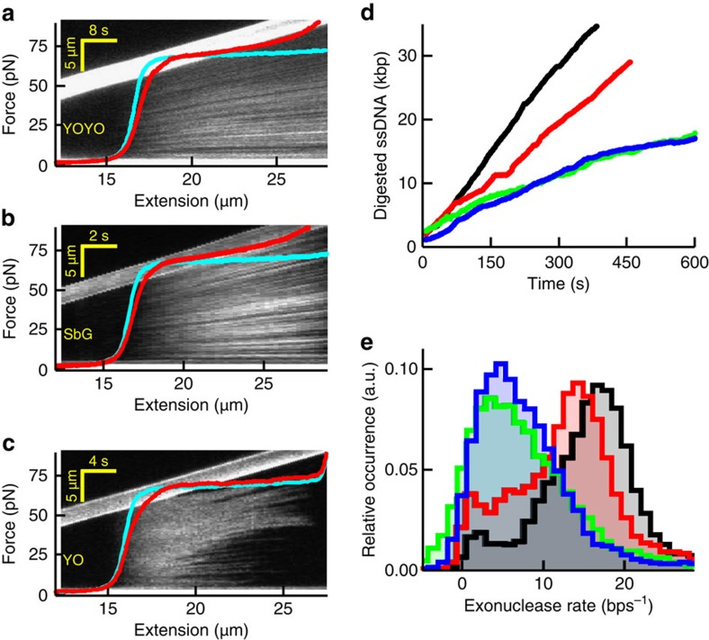 Impact of intercalators on DNA overstretching and DNA-enzyme activity. ( a – c ) Kymographs and corresponding force-extension curves (red) in the presence of YOYO ( a ), SbG ( b ) and YO ( c ) at 100 mM NaCl. The kymograph image and corresponding force-extension curves are co-aligned along the horizontal axis, which is possible because of the constant stretching speed of the moving bead (visible as the bright, upward tilted bar in the image). Thus, the fluorescence pattern in the vertical direction in the kymograph is a DNA-staining pattern at the DNA extension indicated on the horizontal axis. Cyan curves, no intercalator present. ( d ) Time traces recorded at 40 pN showing dsDNA digestion by the exonuclease activity of T7 DNA polymerase. Black, no intercalator; red, YO; blue, SxO; green, SbG. Under these experimental conditions, YOYO abolished all exonuclease activities. ( e ) Histograms of the resulting average digestion rates obtained at the four different conditions (Methods).
