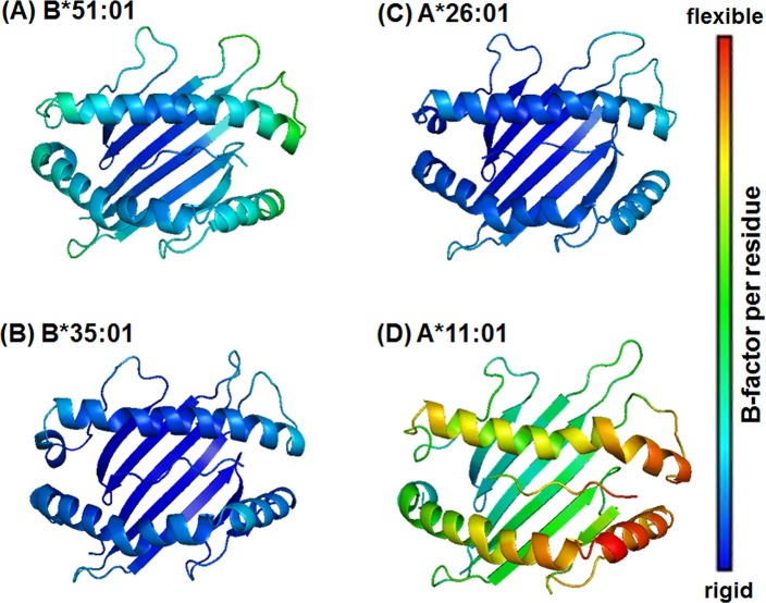 Structural flexibilities of the HLA alleles bound with the MICA-TM peptide. Structural flexibilities were evaluated by B-factor. The ribbon color changes from blue (rigid) to red (flexible) to represent a low to high protein flexibility. Note that for clarity only the binding groove structure and the MICA-TM peptide are shown.